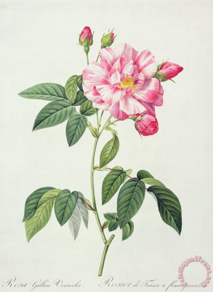 French Rose painting - Pierre Joseph Redoute French Rose Art Print