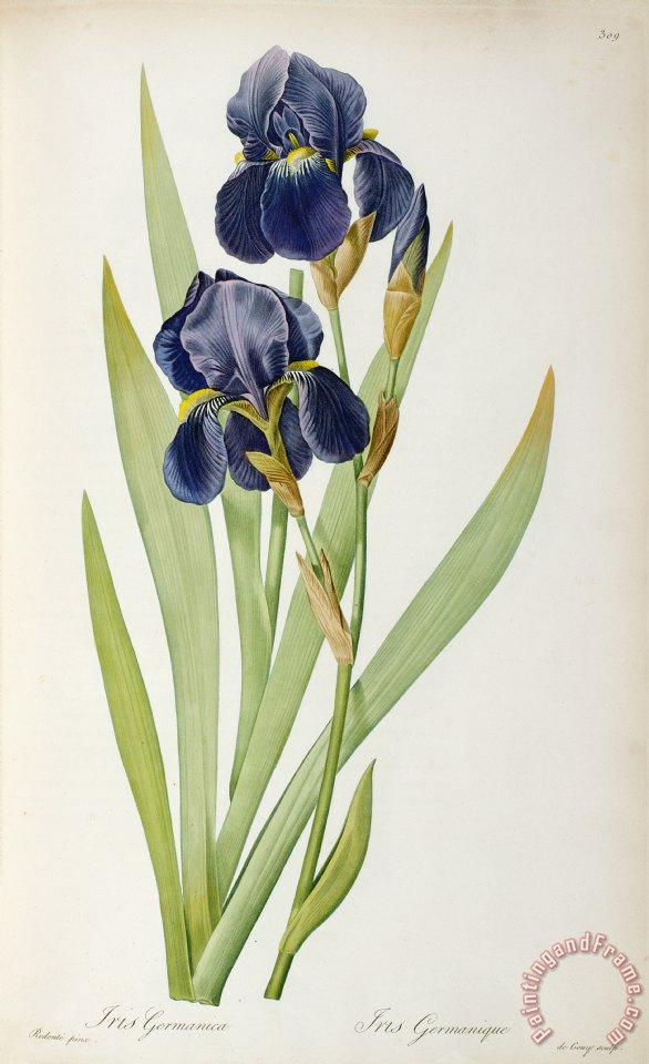 Iris Germanica painting - Pierre Joseph Redoute Iris Germanica Art Print