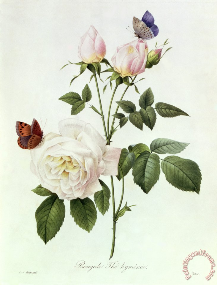 Pierre Joseph Redoute Rosa Bengale the Hymenes Art Print