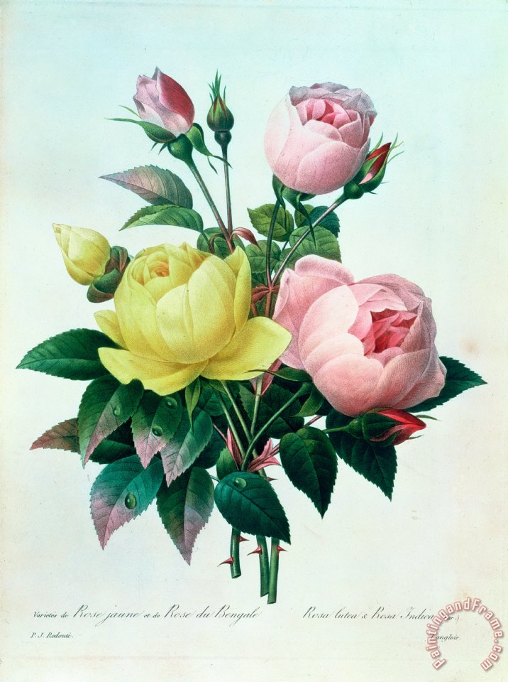 Rosa Lutea and Rosa Indica painting - Pierre Joseph Redoute Rosa Lutea and Rosa Indica Art Print