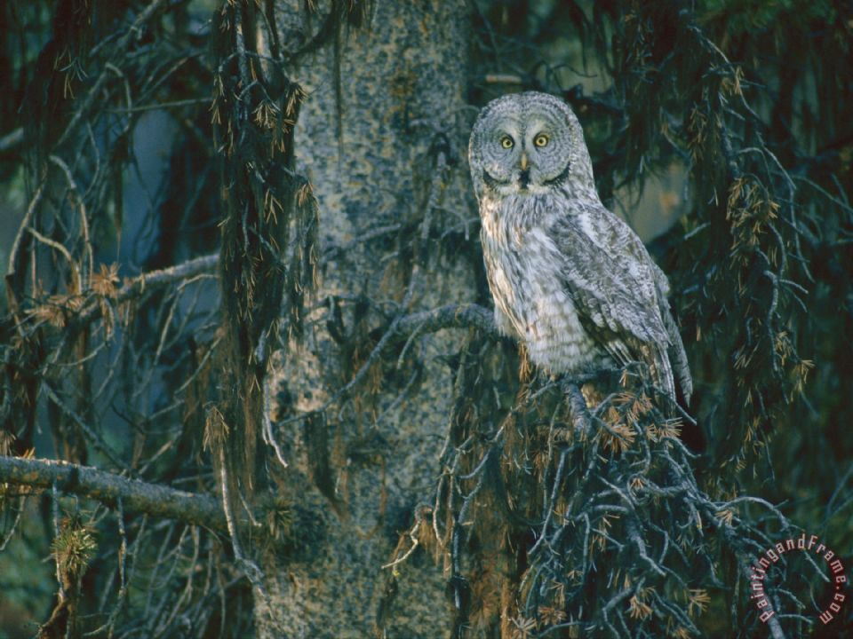 Raymond Gehman A Great Gray Owl Scouts for Prey in Yellowstone Art Painting