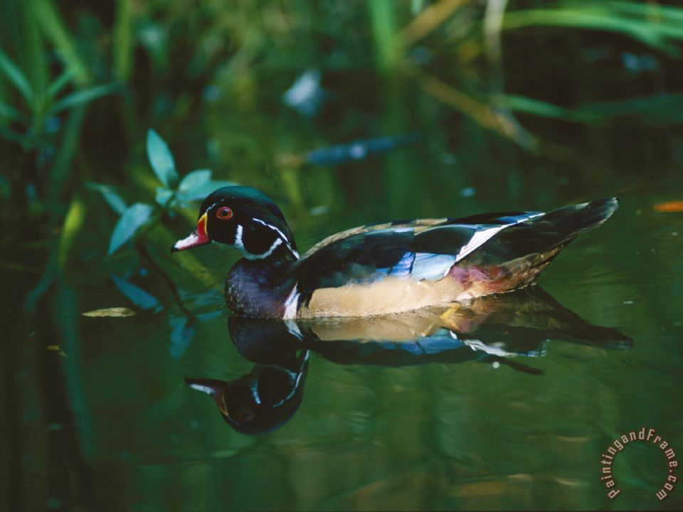 A Male Wood Duck Makes Its Home in The Wildlife Park at Brookgreen Gardens in South Carolina painting - Raymond Gehman A Male Wood Duck Makes Its Home in The Wildlife Park at Brookgreen Gardens in South Carolina Art Print