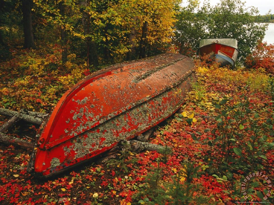 An Upturned Rowboat Among Red Osier Dogwoods in Fall Foliage painting - Raymond Gehman An Upturned Rowboat Among Red Osier Dogwoods in Fall Foliage Art Print