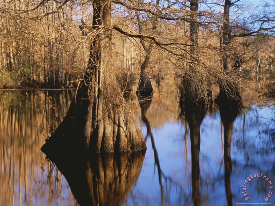 Bald Cypress Trees And Their Reflections On Water S Surface Painting Raymond Gehman