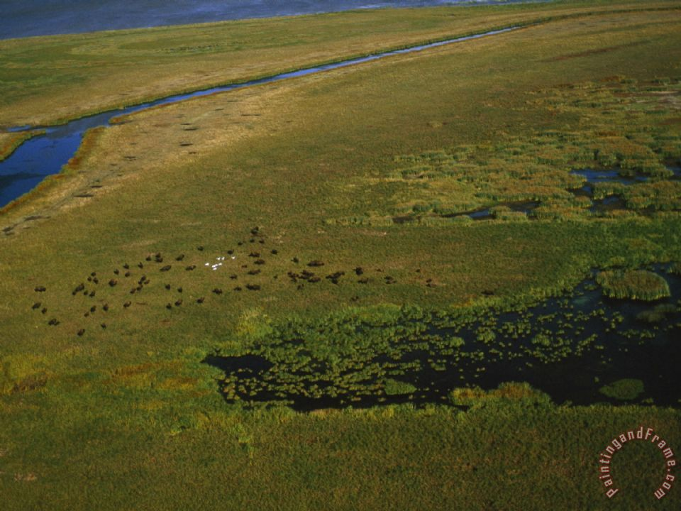 Bison Graze And Rest in The Green of The Peace Athabasca Delta painting - Raymond Gehman Bison Graze And Rest in The Green of The Peace Athabasca Delta Art Print