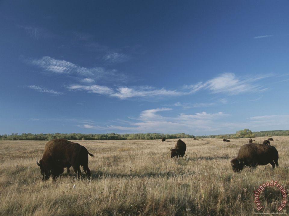 Bison Graze on a Field Set Against a Blue Sky with Wispy Clouds painting - Raymond Gehman Bison Graze on a Field Set Against a Blue Sky with Wispy Clouds Art Print