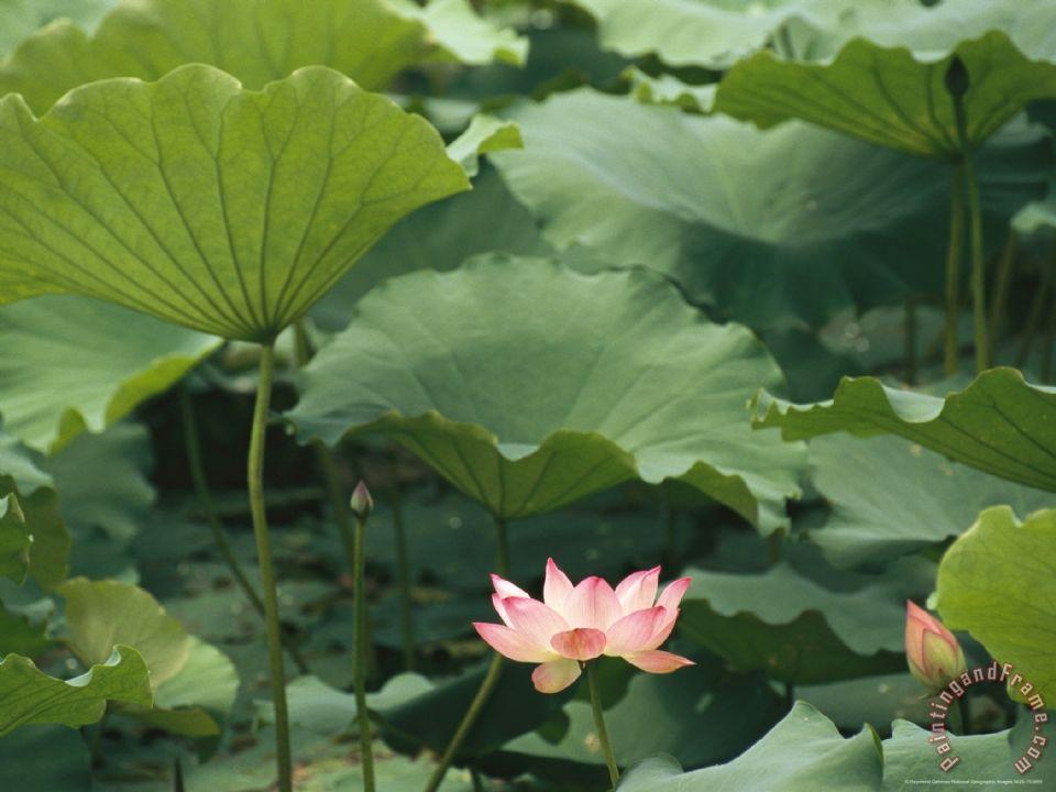 Raymond Gehman Blooming Lotus Water Lily Flower Painting