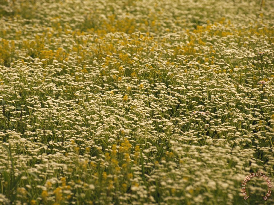 Ragweed Pictures Bloom Field of Ragweed And Queen Anne s Lace in Bloom Painting Raymond Gehman