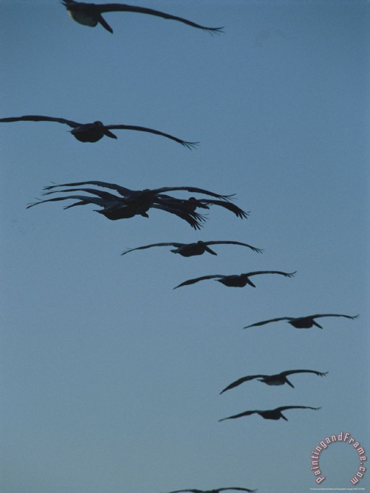 Flock of Brown Pelicans Flying in Formation painting - Raymond Gehman Flock of Brown Pelicans Flying in Formation Art Print