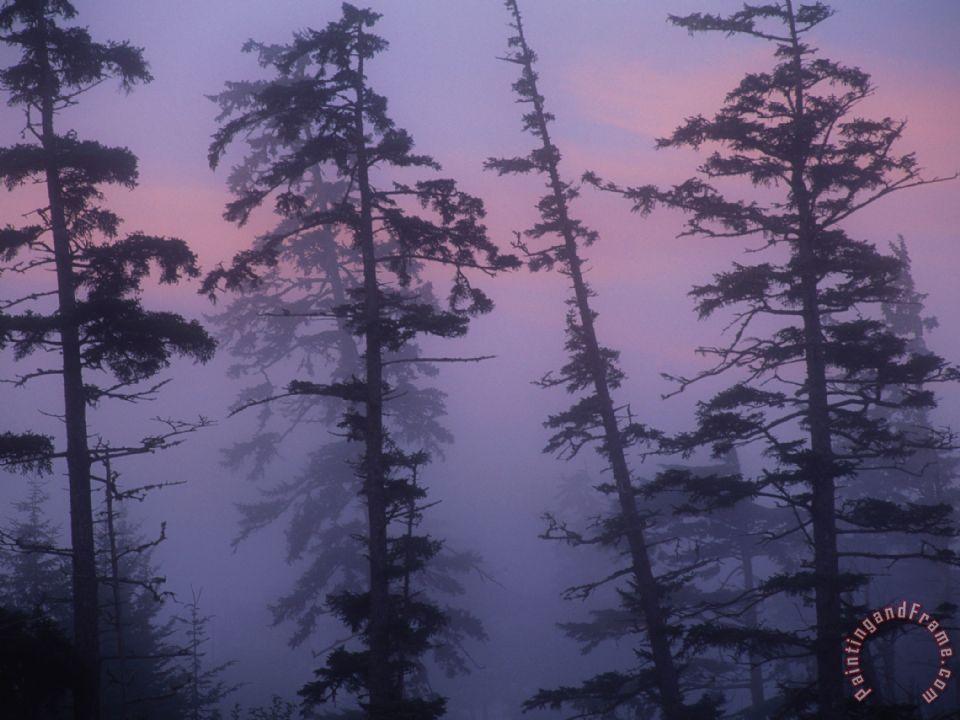 Raymond Gehman Morning Fog Shrouds Silhouetted Evergreen