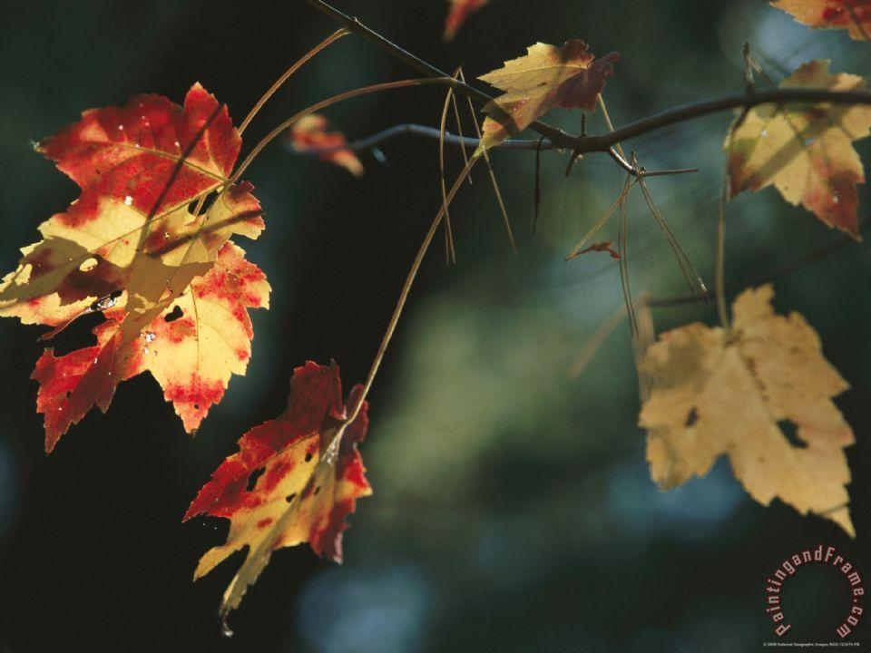 Pine Needles Caught On An Autumn Colored Maple Leaf Painting Raymond Gehman