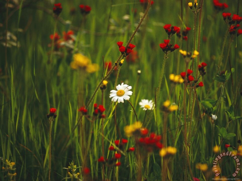 Raymond gehman red and yellow wildflowers bloom around a wild daisy red and yellow wildflowers bloom around a wild daisy mightylinksfo
