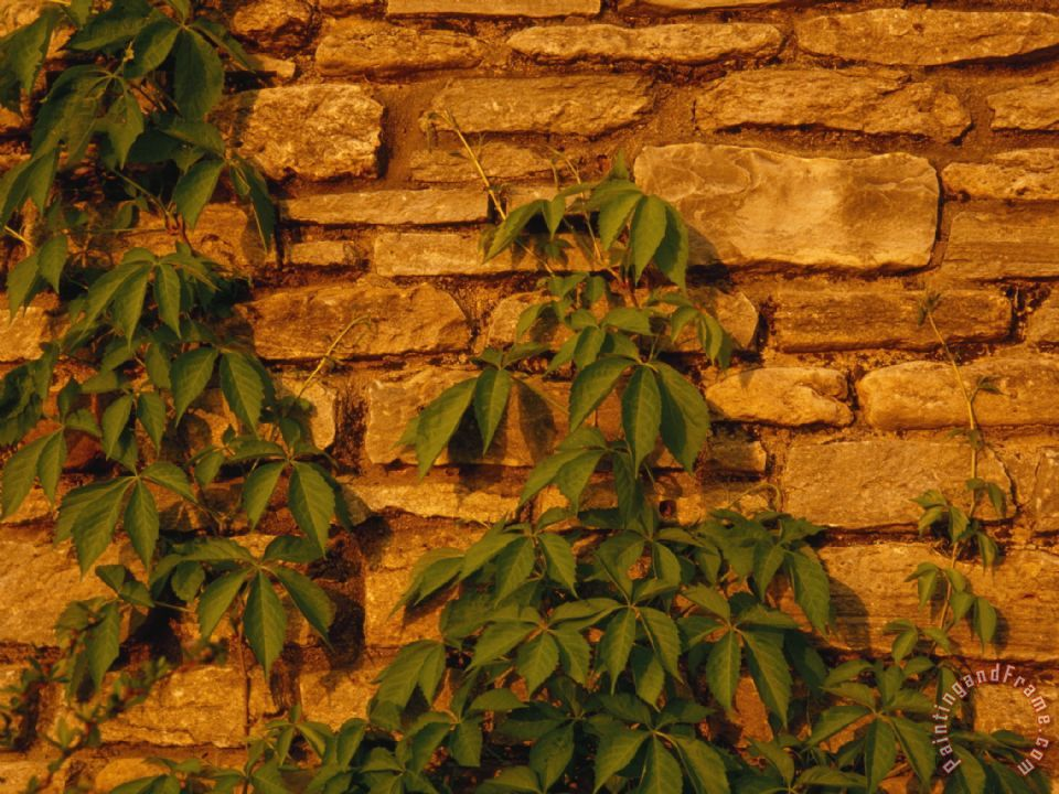 Virginia Creeper Vine Clinging to a Stone Wall painting - Raymond Gehman Virginia Creeper Vine Clinging to a Stone Wall Art Print