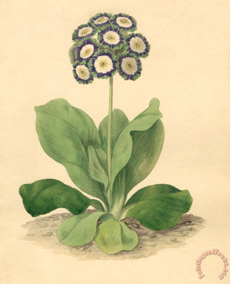 Primula Auricula Cockups Eclipse painting - Sydenham Teast Edwards Primula Auricula Cockups Eclipse Art Print