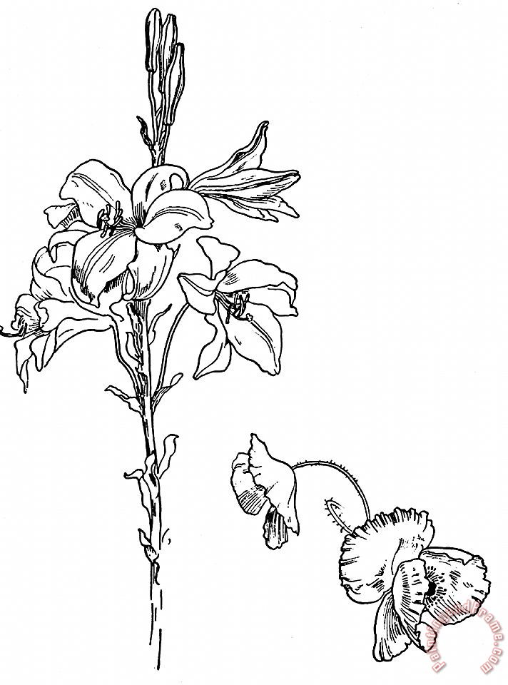 Lily And Poppy Flower Line Drawing painting - Walter Crane Lily And Poppy Flower Line Drawing Art Print
